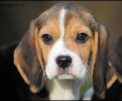 Beagle pups te koop