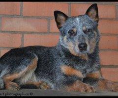 Lummen-Australian Cattledog