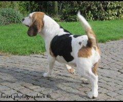 Lummen-Beagle