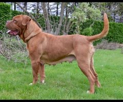 Lummen-Bordeaux Dog tess