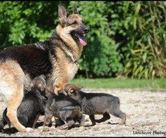 Lummen-Duitse Herder
