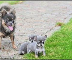 Chihuahua TOY halflanghaar (bleu and tan) dekreu