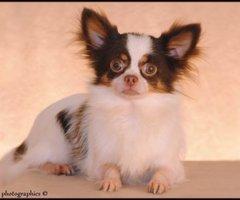 Chihuahua TOY langhaar (Tricolor Choco Tan) dekreu