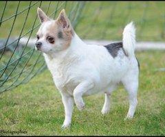 Chihuahua korthaar (tricolor Blauw) dekreu