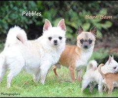Chihuahua TOY korthaar en halflanghaar dekreu