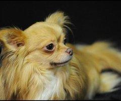 Chihuahua langhaar (Creme) dekreu