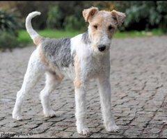 Fox Terrier Dekreu (ruwharig)