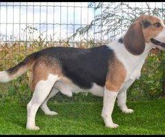 Beagle dekreu