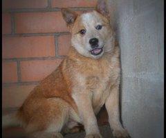 Red Australian cattle dog dekreu (nu 1 jaar, recente foto volgt nog)