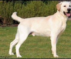 Labrador dekreu